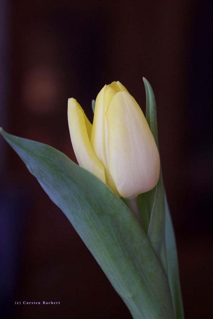 Tulpe_02