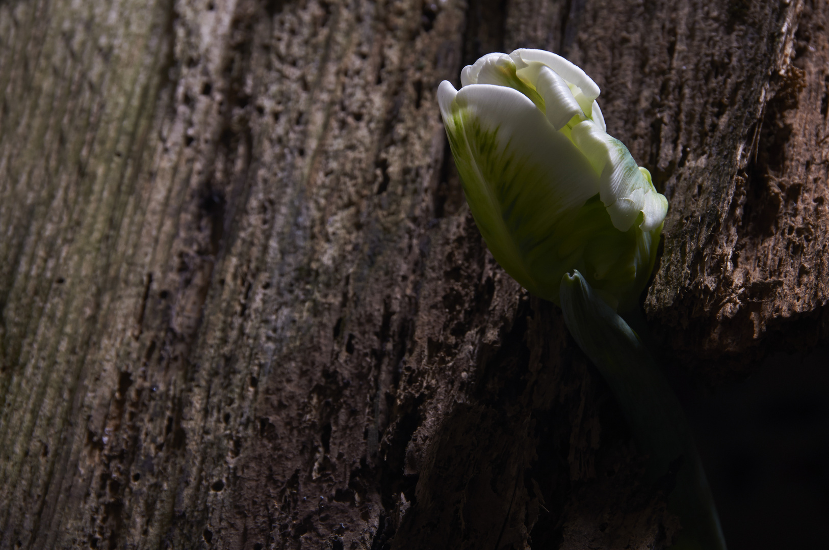 Tulpe_4