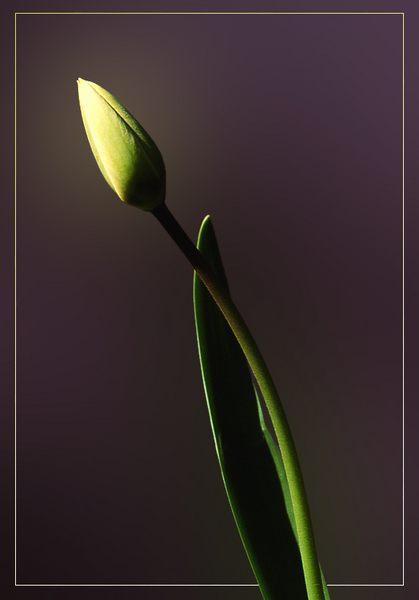 Tulpe,gelb