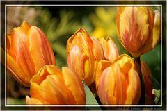 Tulpen 01