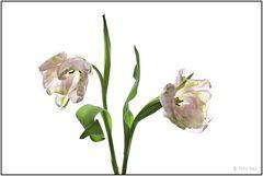 Tulpen 019