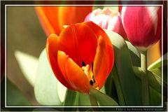 Tulpen 02