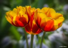 Tulpen 06