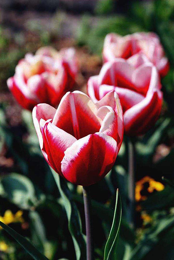 Tulpen - 2