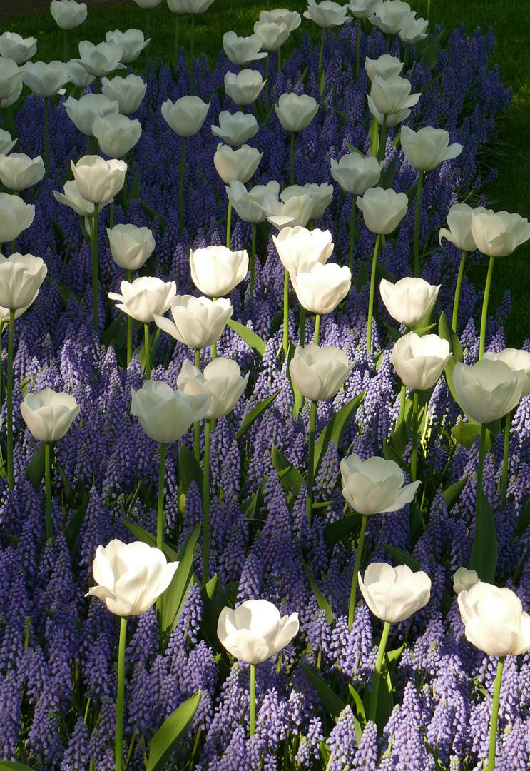 Tulpen (2)