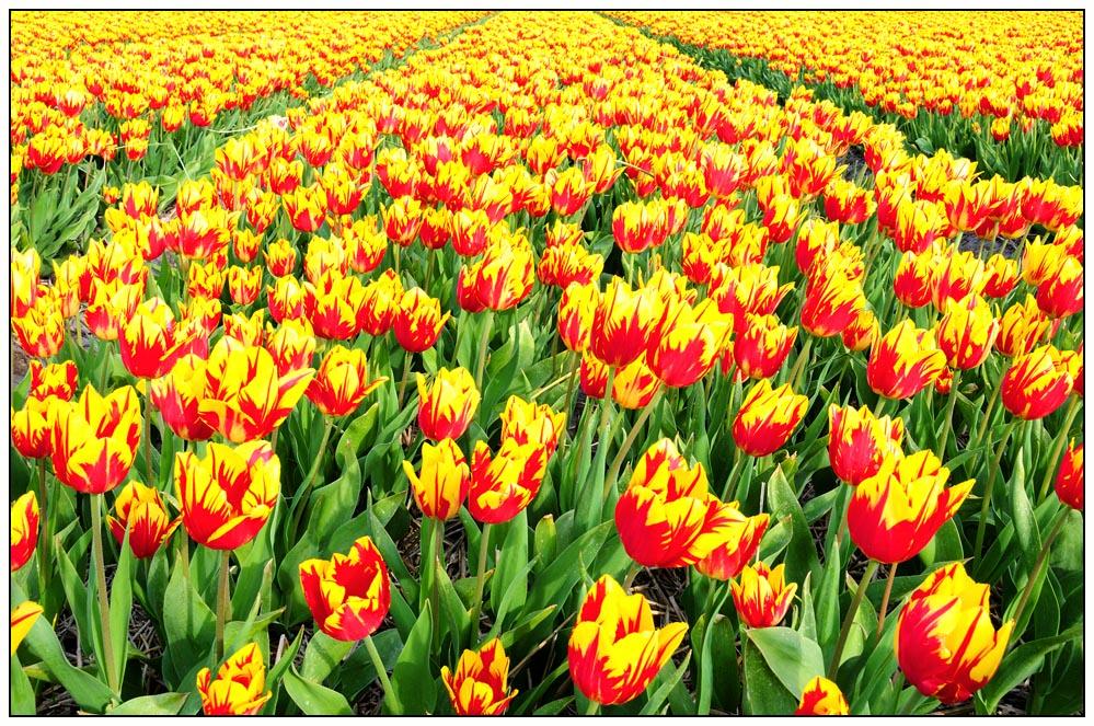 Tulpen 2008 (1)