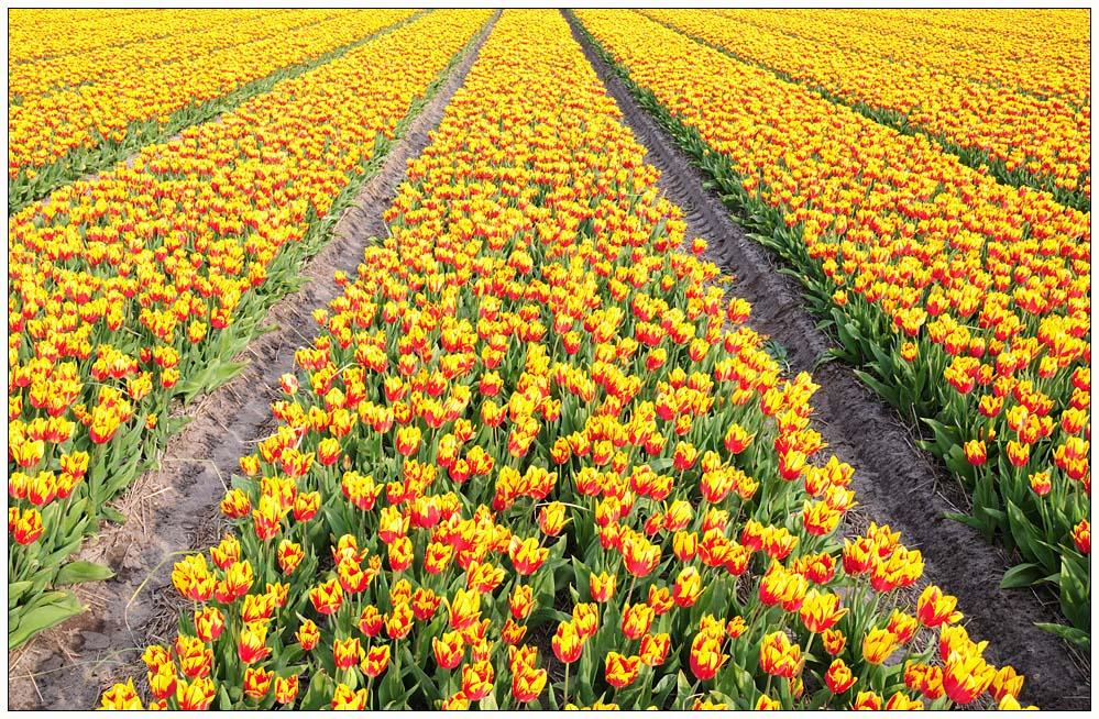 Tulpen 2008 (3)