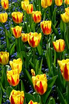 Tulpen......