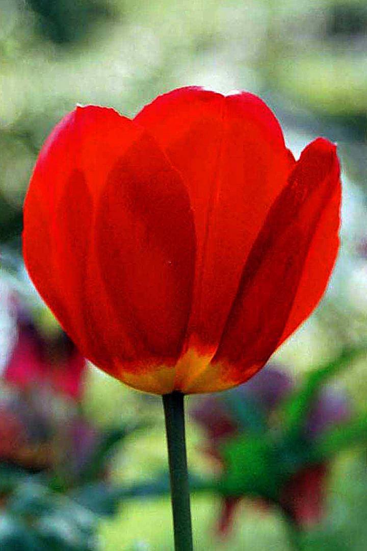 Tulpen - 4