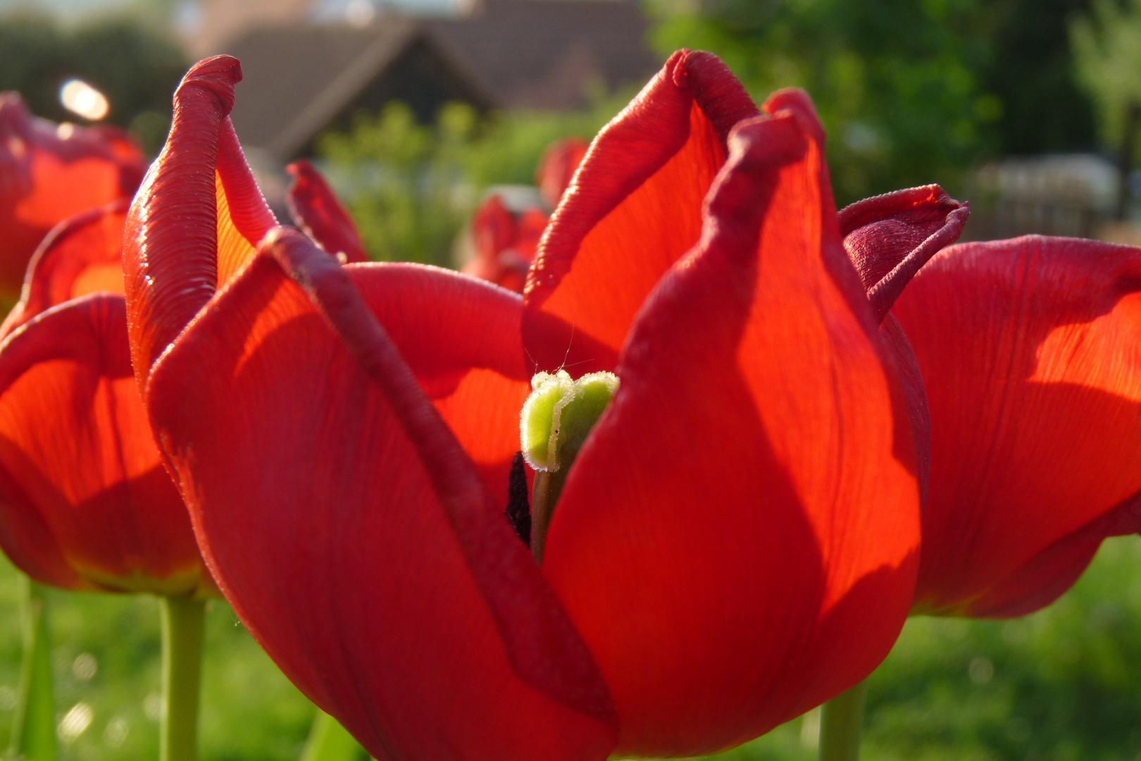 Tulpen :)