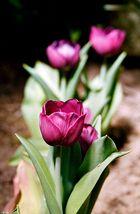 Tulpen - 6