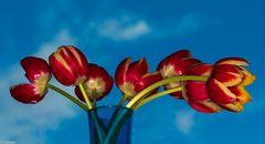 Tulpen (6)