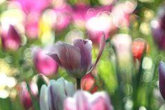 Tulpen .....