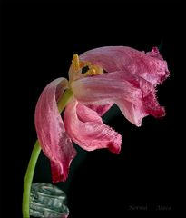 Tulpen Abschied