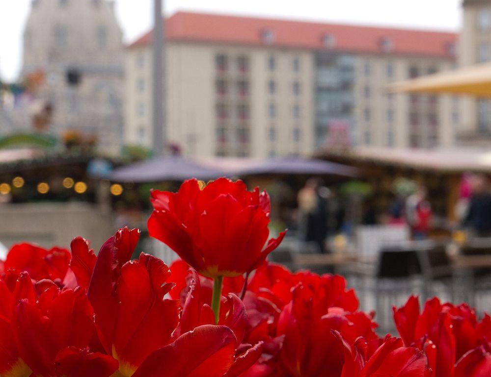 Tulpen am Altmarkt Dresden