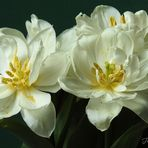 Tulpen am Mittwoch