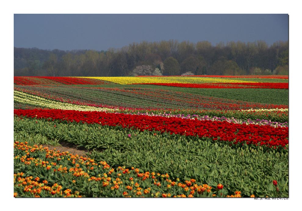 Tulpen am Niederrhein ...II