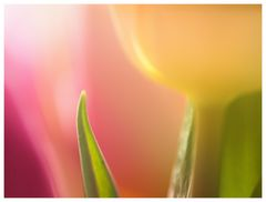 Tulpen-Aquarell