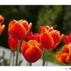 Tulpen auf der Mainau