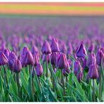 Tulpen aus ...