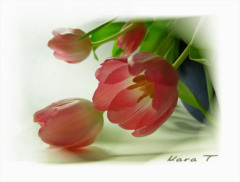 Tulpen aus Aldidam