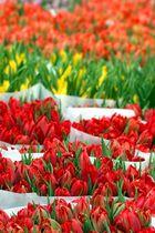 Tulpen aus Amsterdam...