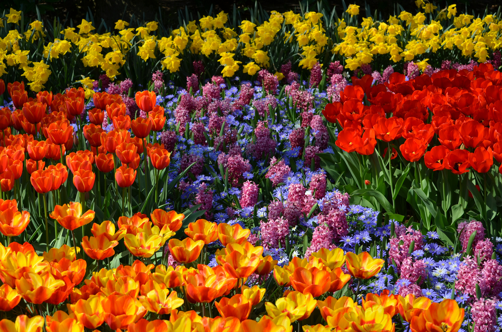 Tulpen aus Amsterdam