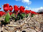 """Tulpen aus der """"Nähe"""" von Amsterdam......"""