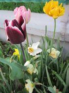 Tulpen aus der Wachau