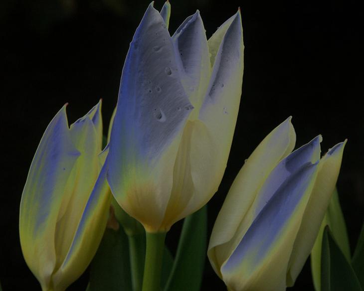 Tulpen aus Holland ?
