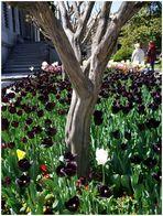 Tulpen aus Istanbul.... im Topkapi