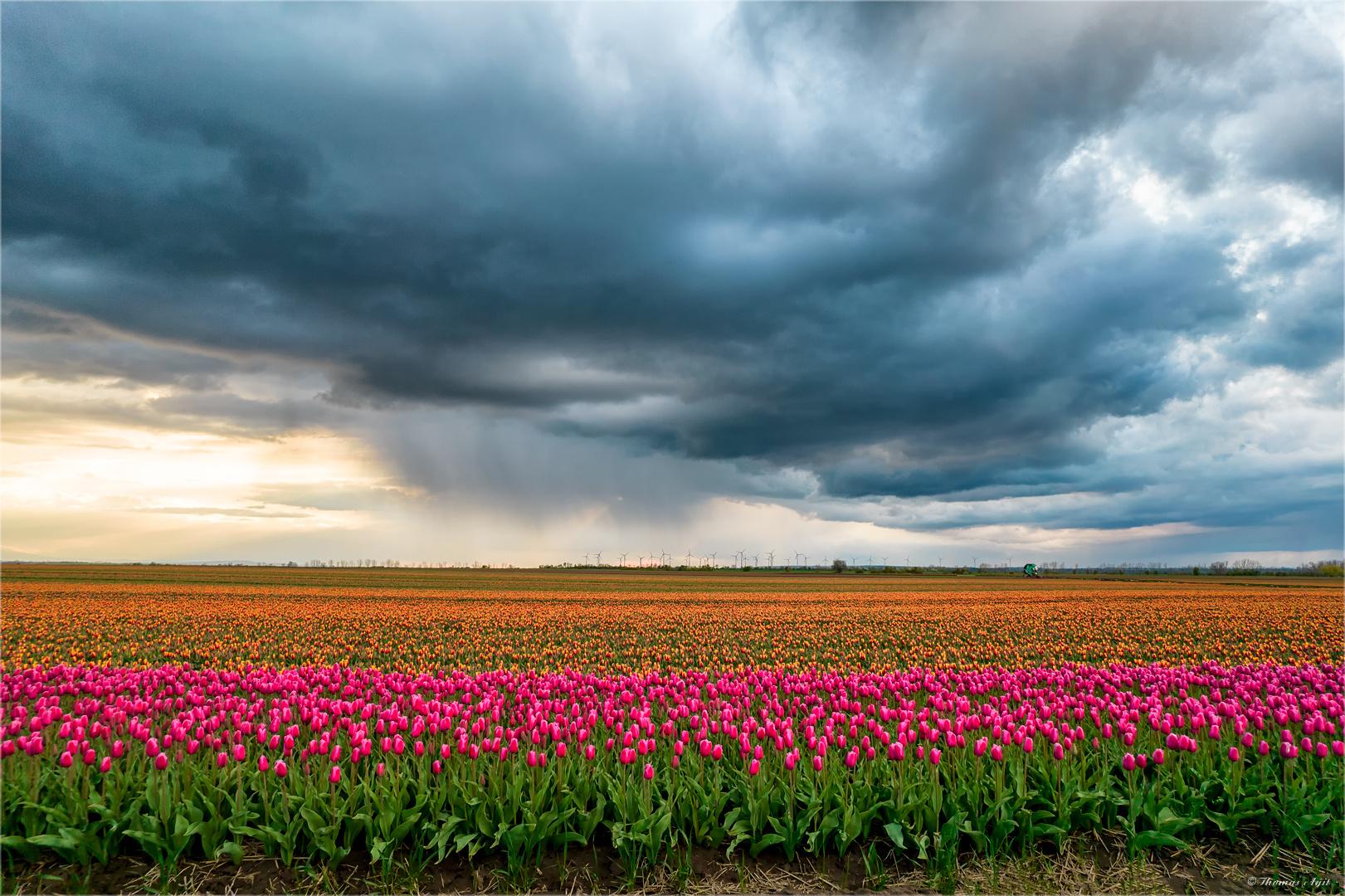 Tulpen aus Schwaneberg...