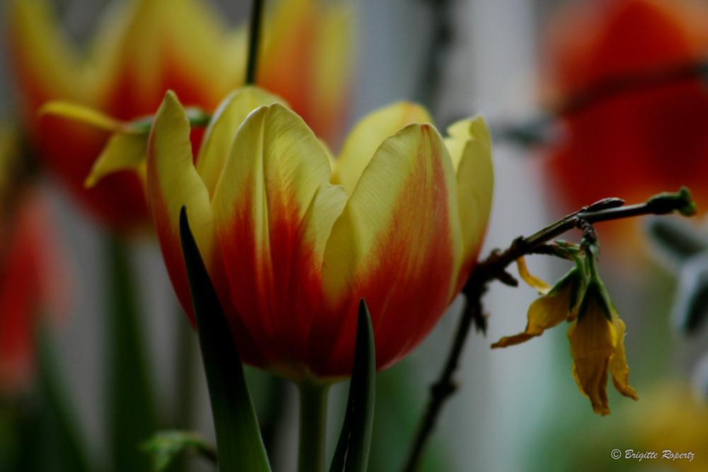 Tulpen ...