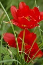 Tulpen bei St.Pauli