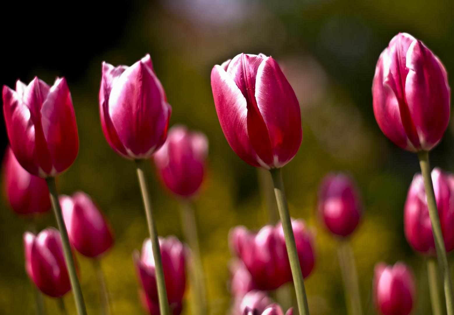 ++ Tulpen ++