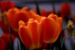 Tulpen das ganze Jahr