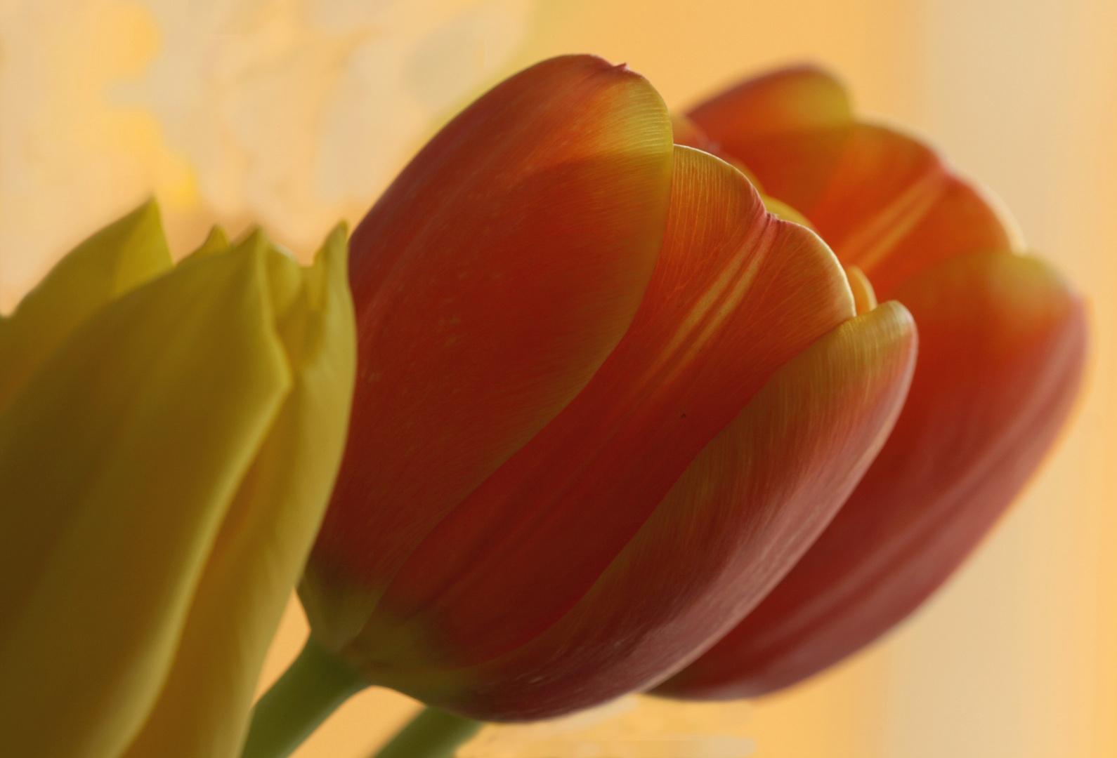Tulpen- der Frühling wird mit Blüten herbeigezaubert