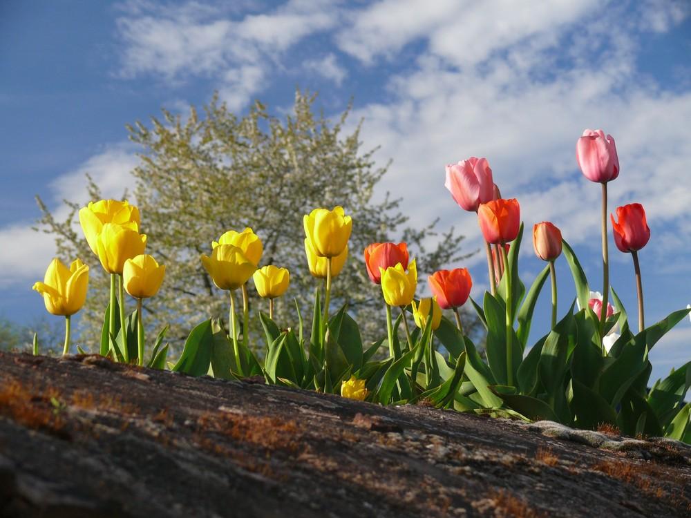Tulpen - diesmal nicht aus Amsterdam