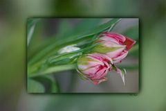 Tulpen-Drilling