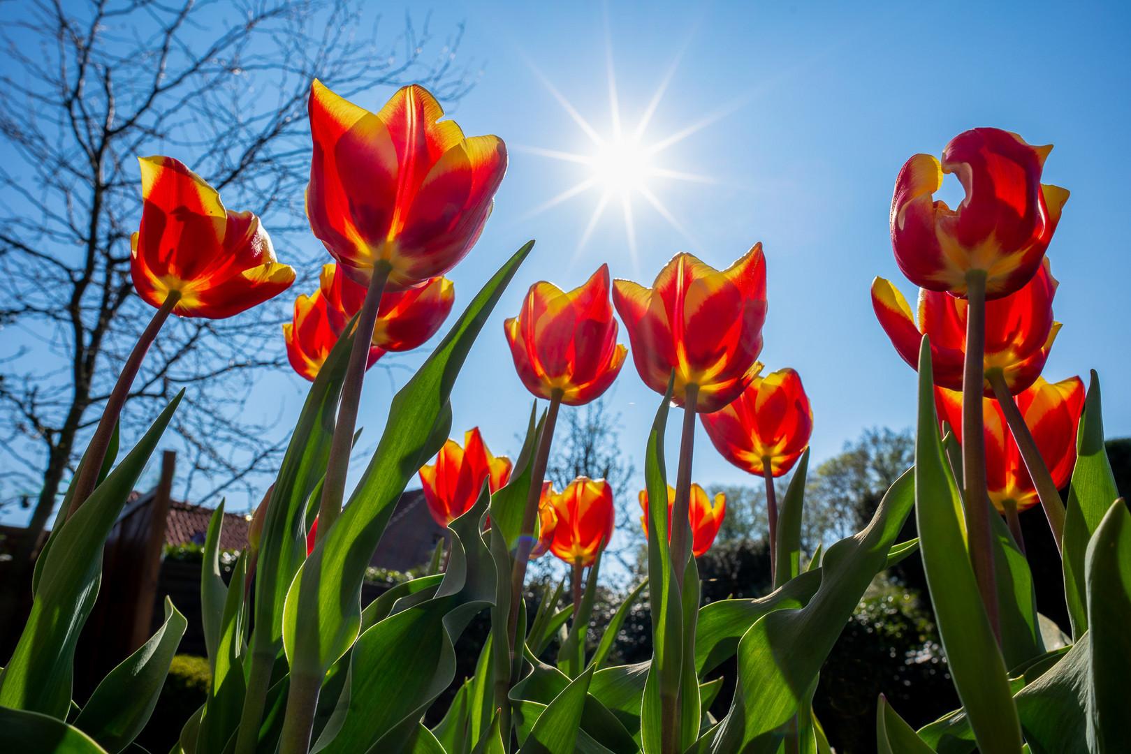 Tulpen DSC06999_2