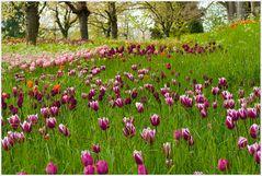 Tulpen Eldorado