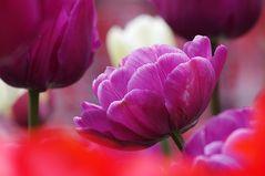 Tulpen Farbenpracht