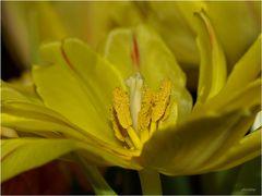 Tulpen-Frühling