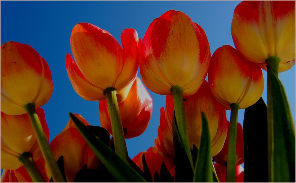 Tulpen - für mich ...