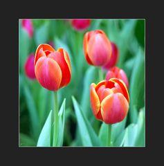 Tulpen fürs WE