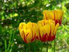Tulpen im Abendlicht