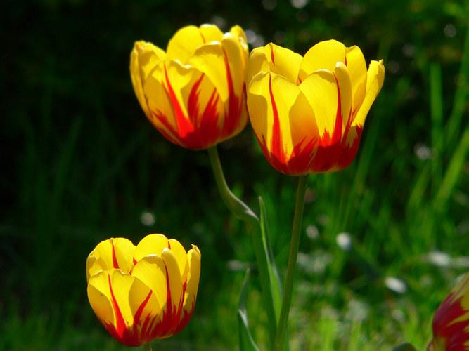 Tulpen im Abendlicht II