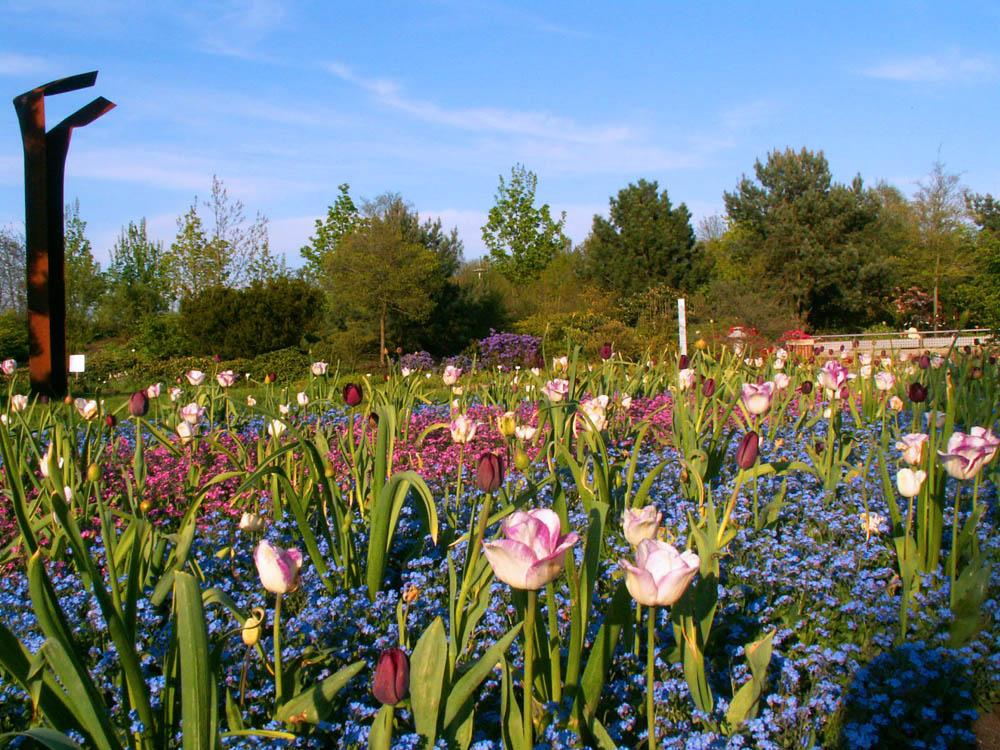 Tulpen im Blütenmeer