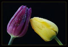 Tulpen im Eis