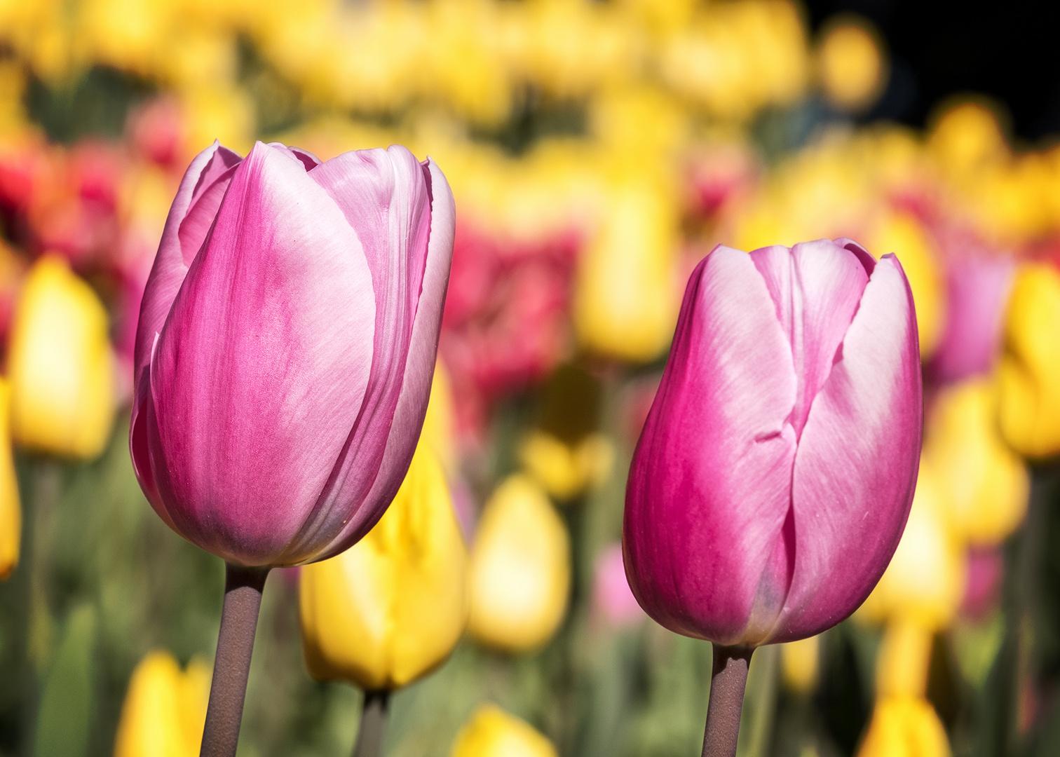 Tulpen im japanischen Winter